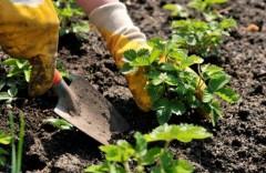 replanting-strawberries1-580x379