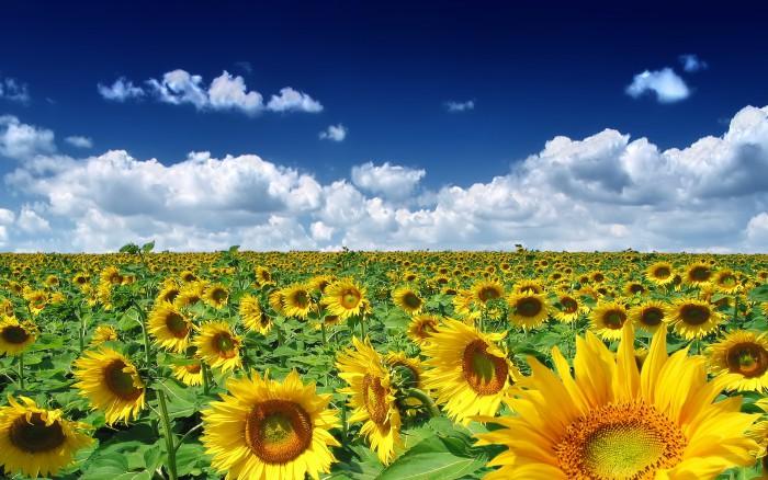 imagine-floarea-soarelui