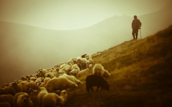shepherd-sheep-2-590x369